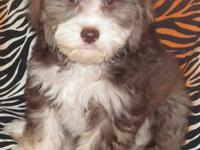 **Prices Have Fallen Thru Sunday 10/20/13**Any Cockapoo