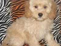 **Prices Have Fallen Thru Sunday 10/27/13**Any Cockapoo