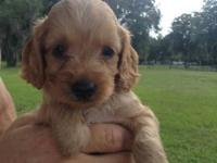 Stunning trash of Cockapoo young puppies. 3 Buff, 1