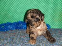 Cockapoo puppies in Macon, GA. 6 weeks old. Can leave