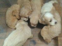 I have 6 male and 3 female cockapoo puppies for sale ..
