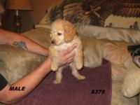 I have 5 second generation cockapoo puppies for sale.
