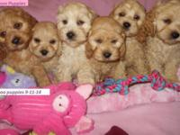 Cockapoo Puppies-1st generation. 8 wks old. Mom AKC