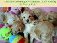 """Cockapoo Puppies In Michigan"" All pictures taken"