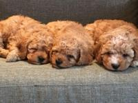 3 female cockapoo pups available now,Family raised with