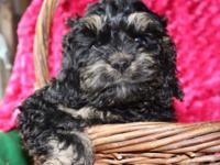 F1 Cockapoo Puppy, Shots, Started Housebreaking $950.