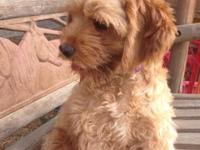 Lady is a wonderful little dog a golden cockapoo 5