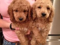 GORGEOUS COCKAPOO PUPS. REALLY CHARMING AND SPIRITED.
