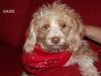 Cockapoo - Sadie - Medium - Adult - Female - Dog This