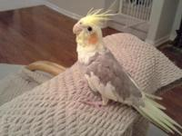 Beautiful , hand fed cinnamon pied cockatiel baby for