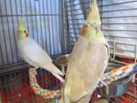 Cockatiel - Cockatiels - Small - Young - Female - Bird