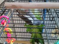 I am selling my breading cockatiel birds. Very young