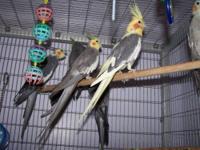 Cockatiel - Many Cockatiels - Medium - Adult - Bird 5