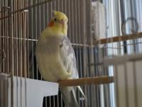 Cockatiel - Pretty Bird - Medium - Adult - Male - Bird