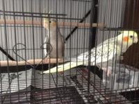 Young Cockatiels 3 months old $25 each. Will meet in