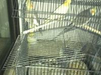 We are selling cockatiels both young and old (a family