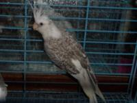 I have some cockatiels available Fallow, White face