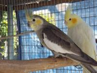 Adult Breeder Cockatiel: Pastel Pied male $100 Pastel