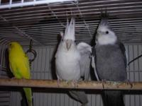 1 albino male 3 yrs old 1 female pied 1 male wf