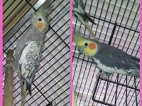 Cockatiels for sale!!! Males and Females and bonded