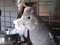 I have two young, friendly cockatiels with a large cage
