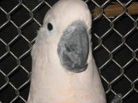 Cockatoo - Frosty - Medium - Adult - Male - Bird Frosty