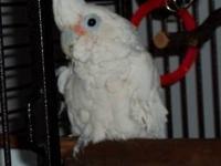 Cockatoo - Sugar - Medium - Adult - Male - Bird Sugar