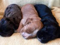 Litter of 8 adorable cocker spaniels born 10-8-15. Will