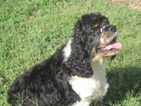 Cocker Spaniel - Aaron - Small - Adult - Male - Dog