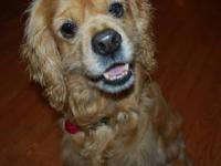 Cocker Spaniel Come see me this weekend at Petco! I'm