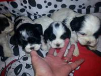 Cocker spaniel and shih Tzu cross for sale. 5 in the