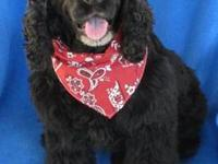 Cocker Spaniel - Bebe - Medium - Young - Male - Dog