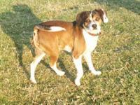 Cocker Spaniel - Bernard - Small - Young - Male - Dog
