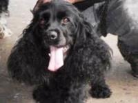 Cocker Spaniel - Brownie - Small - Young - Female -