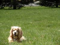 Cocker Spaniel - Buddy - Small - Adult - Male - Dog