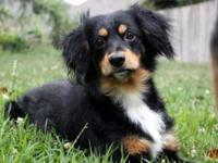 Cocker Spaniel - Chip - Medium - Senior - Male - Dog