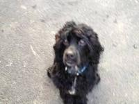 Cocker Spaniel - Conner - Small - Adult - Male - Dog