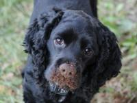 3 Year old Cocker Spaniel Male available for adoption.