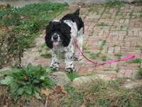 Cocker Spaniel - Fee Fee - Medium - Adult - Female -