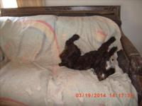 I have an attractive choclate Cocker Spaniel available,