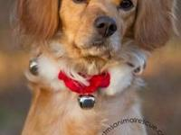 Cocker Spaniel - Goldie - Medium - Adult - Female -