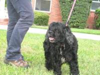 Cocker Spaniel - Isabelle - Medium - Adult - Female -