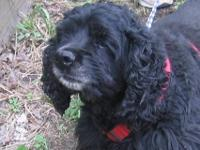 Cocker Spaniel - Kiera - Medium - Adult - Female - Dog