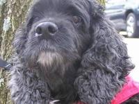 Cocker Spaniel - Leroy - Small - Senior - Male - Dog