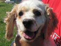 Cocker Spaniel - Liberty - Medium - Adult - Female -
