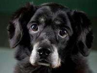 Cocker Spaniel - Lucky - Medium - Senior - Female -