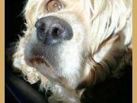 Cocker Spaniel - Mojo - Small - Young - Male - Dog Mojo
