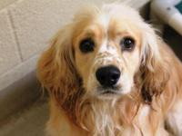 Cocker Spaniel - Plato - Medium - Young - Male - Dog
