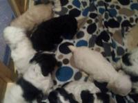 COCKER SPANIEL PUPS ONLY 2 LITTLE BOYS LEFT 1 BLACK AND