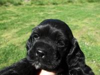 Lovely cocker spaniel puppies, They are utd on shots